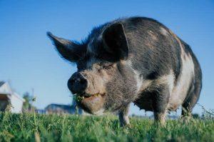 gårds gris